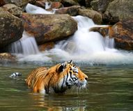 Siberian Tiger in water. royalty free stock images