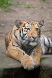 Siberian tiger Panthera tigris altaica. Royalty Free Stock Photography