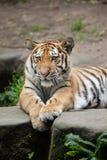 Siberian tiger Panthera tigris altaica. Stock Photo