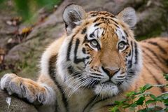 Siberian tiger panthera tigris altaica. In zoo Stock Photo