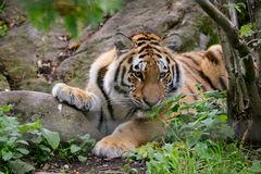 Siberian tiger panthera tigris altaica. In zoo Stock Image