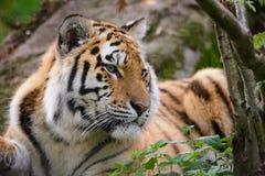 Siberian tiger panthera tigris altaica. In zoo Stock Photos
