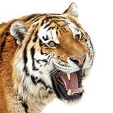 Siberian tiger (pantheraen tigris) Royaltyfri Bild