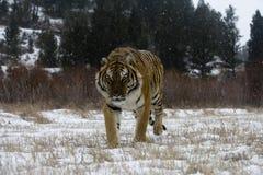 Siberian tiger, Pantheratigris altaica Arkivbild