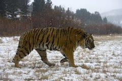 Siberian tiger, Pantheratigris altaica Royaltyfri Foto
