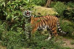 Siberian tiger, Pantheratigris altaica som direkt framme poserar av fotografen Royaltyfri Bild