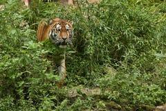 Siberian tiger, Pantheratigris altaica som direkt framme poserar av fotografen Arkivbilder
