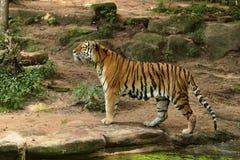 Siberian tiger, Pantheratigris altaica som direkt framme poserar av fotografen Royaltyfria Bilder