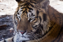 Siberian Tiger Park, Harbin, China Royalty Free Stock Image