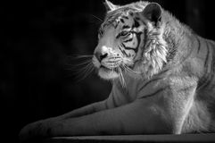 Siberian Tiger with paws stretched out in front. Siberian tiger shot in black and white Stock Photography