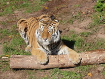 Siberian tiger playing portrait Stock Photos