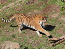 Siberian tiger playing Stock Photography