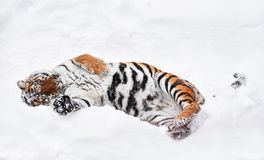 Siberian tiger playing in white winter snow Royalty Free Stock Image