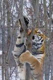 Siberian tiger plays Royalty Free Stock Photos