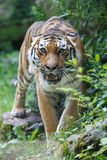 Siberian tiger pointing at the camera Royalty Free Stock Image