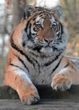 Siberian Tiger Portrait Royalty Free Stock Image