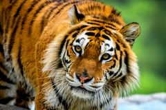 Siberian tiger portrait. Aggressive stare face meaning danger for the prey. Closeup view to angry expression royalty free stock photo
