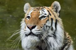 Siberian Tiger Portrait Head and Face stock photos