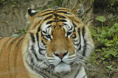 Siberian tiger. Portrait looking and getting ready Royalty Free Stock Photography