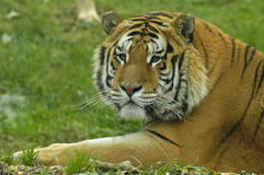 Siberian tiger. Portrait looking and getting ready Royalty Free Stock Image