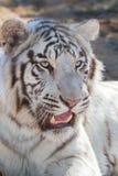 Siberian tiger portrait Stock Images