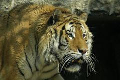 Siberian tiger. Portrait while walking Stock Image