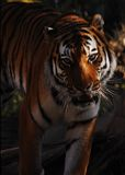 Siberian Tiger Portraiture Royalty Free Stock Photos