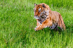 Siberian Tiger Pouncing. Beautiful Siberian Tiger taking off on a run Stock Photography