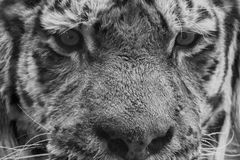 Siberian tiger ready to attack looking at you in black and white Royalty Free Stock Photography