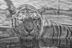 Siberian tiger ready to attack looking at you in black and white Stock Photos
