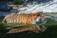 Siberian tiger ready to attack reflextion on water Stock Photos
