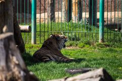 Siberian tiger relax. In the shadow Stock Images