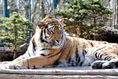 Siberian Tiger. Relaxed Siberian Tiger in the Zoo of Aschersleben in Germany stock photo