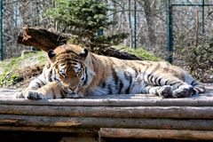 Siberian Tiger. Relaxed Siberian Tiger in the Zoo of Aschersleben in Germany Stock Image