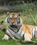 Siberian Tiger Relaxing. Male Siberian Tiger Watching & Relaxing Stock Photo