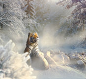 Siberian tiger relaxing in the snow Royalty Free Stock Photos