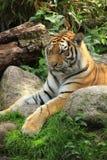 Siberian tiger resting stock photo