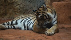 Siberian tiger resting and relaxing stock footage