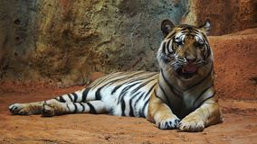 Siberian tiger resting and relaxing