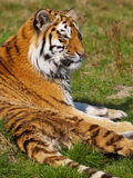 Siberian tiger resting in the sun Royalty Free Stock Image