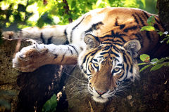 Siberian tiger resting in the undergrowth Royalty Free Stock Image