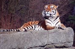The Siberian Tiger on the rock Stock Images