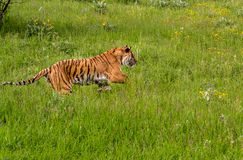 Siberian Tiger Running a Stock Photo