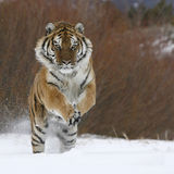 Siberian tiger running in snow. Siberian Tiger in snow closeup royalty free stock photography