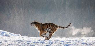 Siberian Tiger running in the snow. China. Harbin. Mudanjiang province. Hengdaohezi park. Siberian Tiger Park. Winter. Hard frost. royalty free stock images