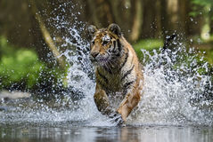 Siberian Tiger. Running through water Stock Image