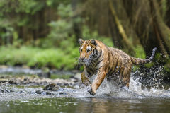 Siberian Tiger. Running through water Royalty Free Stock Image
