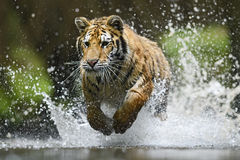 Siberian Tiger. Running through water Royalty Free Stock Images