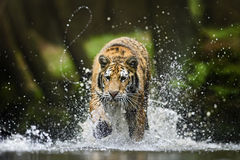 Siberian Tiger. Running in the water Royalty Free Stock Photos