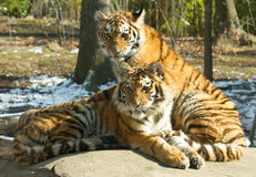 The Siberian tiger's cubs. The Siberian tiger (Panthera tigris altaica), also known as the Amur tiger, is a tiger subspecies inhabiting mainly the Sikhote Alin Royalty Free Stock Images